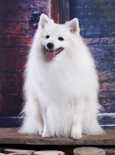 Photo : chien de race Spitz Japonais sur Woopets