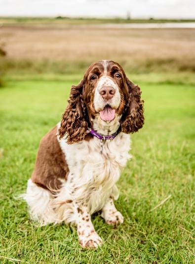 Photo : chien de race Springer Anglais sur Woopets