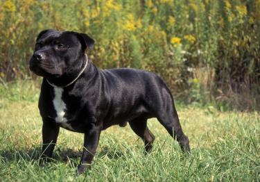 Photo : chien de race Staffordshire Bull Terrier sur Woopets