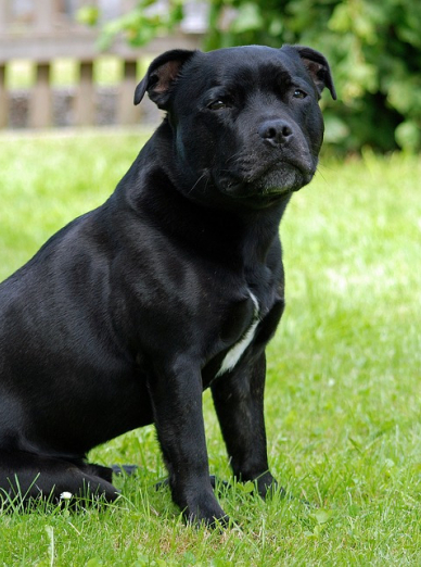 "Illustration de la race ""Staffordshire Bull Terrier"""