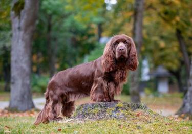 Photo : chien de race Sussex-Spaniel sur Woopets