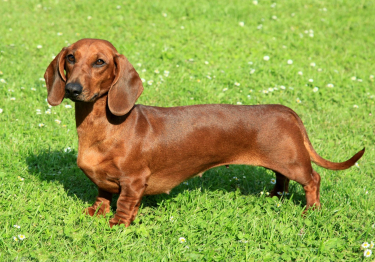 Photo : chien de race Teckel sur Woopets