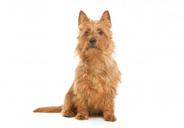 Photo : chien de race Terrier australien sur Woopets