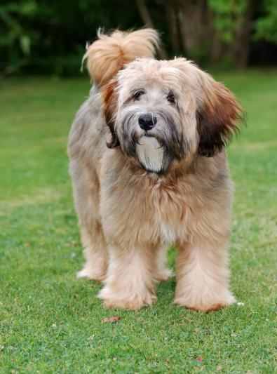 Photo : chien de race Terrier Tibétain sur Woopets
