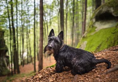 Photo : chien de race Terrier Ecossais sur Woopets