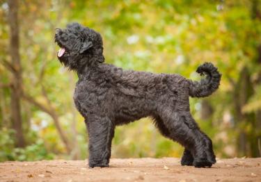 Photo : chien de race Terrier Noir Russe sur Woopets