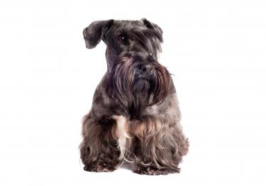 Photo : chien de race Terrier tchèque sur Woopets