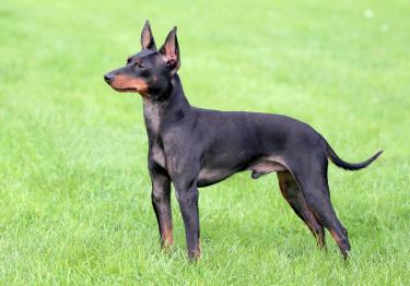 Photo : chien de race English Toy Terrier sur Woopets