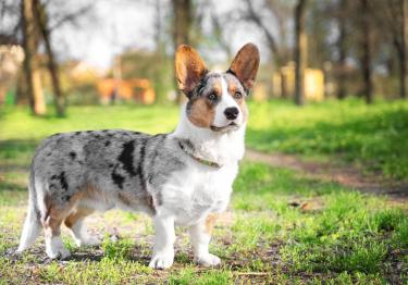 Photo : chien de race Welsh Corgi Cardigan sur Woopets
