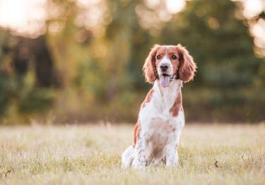 Photo : chien de race Welsh Springer Spaniel sur Woopets