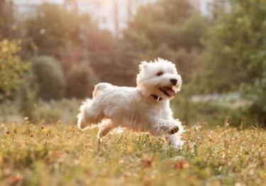 Photo : chien de race West Highland White Terrier sur Woopets