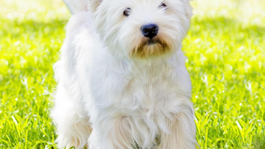 West Highland White Terrier Caractere Sante Alimentation Prix Et Entretien