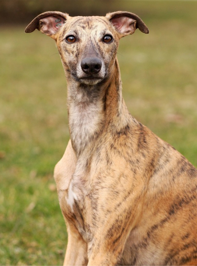 Photo : chien de race Whippet sur Woopets