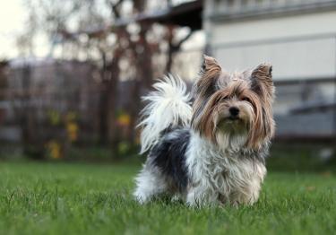 Photo : chien de race Biewer Yorkshire sur Woopets