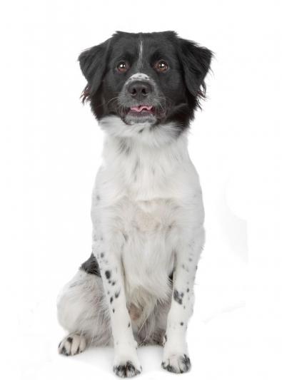 Photo : chien de race Chien d'arrêt frison sur Woopets