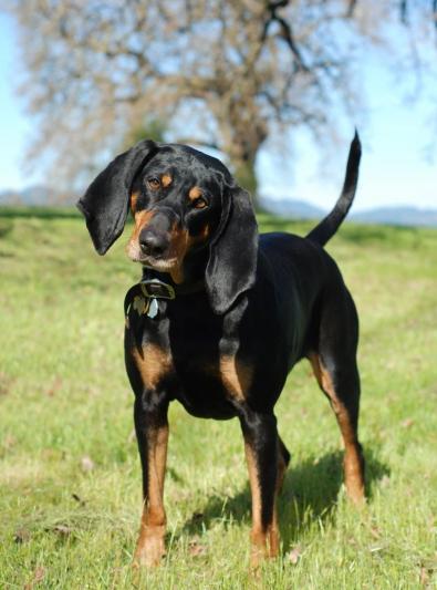 Photo : chien de race Black and Tan Coonhound sur Woopets