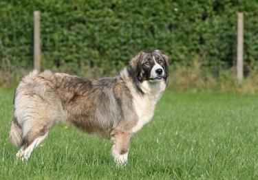Photo : chien de race Chien de Berger Roumain des Carpathes sur Woopets