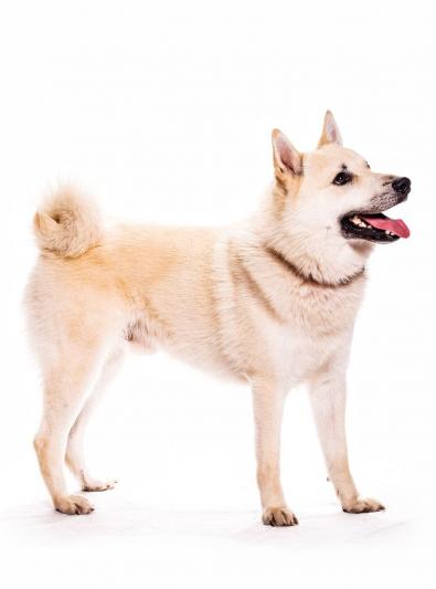 Photo : chien de race Buhund Norvégien sur Woopets