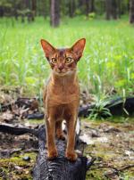 Photo : chat de race Abyssin sur Woopets