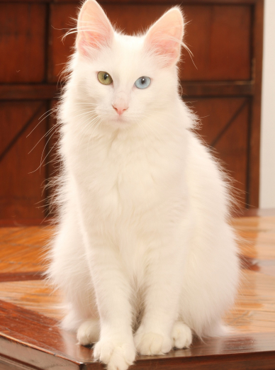 Photo : chat de race Angora Turc sur Woopets