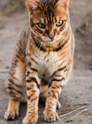 Photo : chat de race Bengal sur Woopets