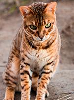 Photo : chat de race Bengal sur Woopets