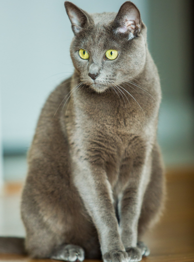 Photo : chat de race Bleu Russe sur Woopets
