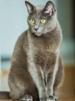 Photo : chat de race Bleu Russe sur Woopets
