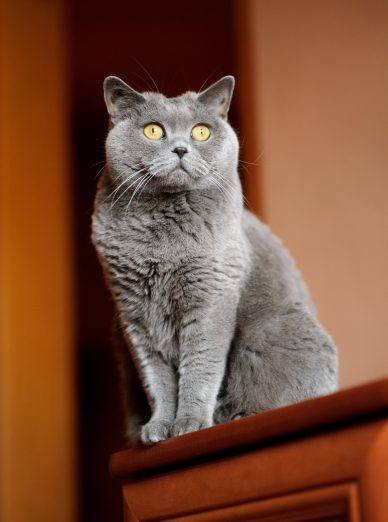 "Illustration de la race ""British Shorthair"""