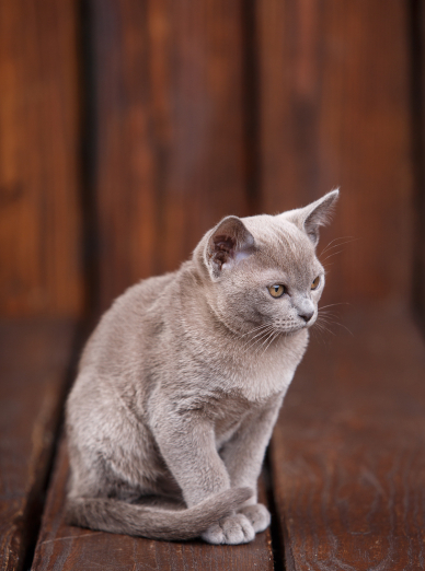 Photo : chat de race Burmese sur Woopets