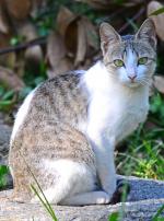 Photo : chat de race Ceylan sur Woopets
