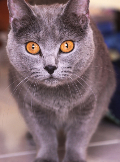 Photo : chat de race Chartreux sur Woopets