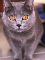 Photo : chat de race Chartreux sur Woopets
