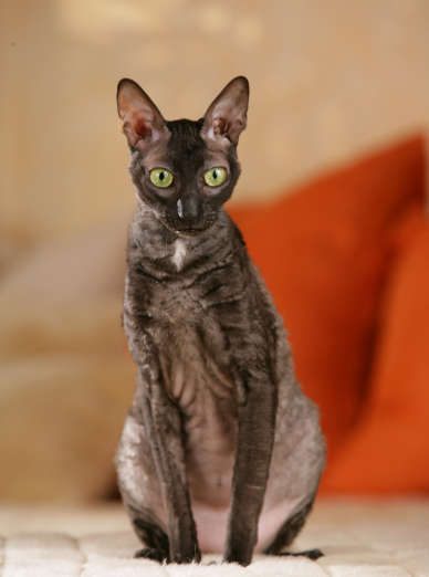 Photo : chat de race Cornish Rex sur Woopets