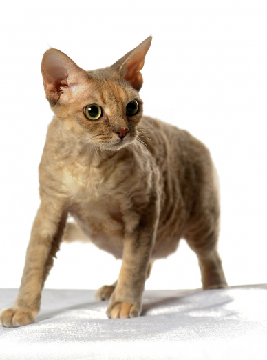 Photo : chat de race Devon Rex sur Woopets