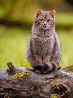 Photo : chat de race Européen sur Woopets
