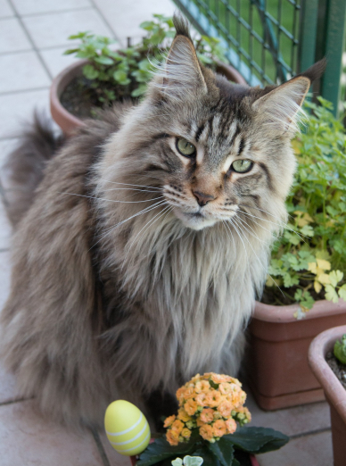 Photo : chat de race Maine Coon sur Woopets