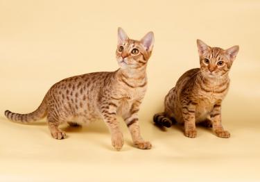 Photo : chat de race Ocicat sur Woopets