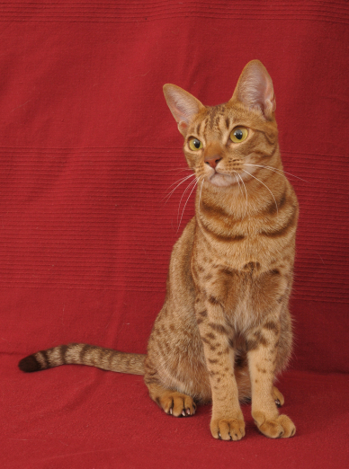 Photo : chat de race Ocicat sur Woopets