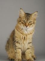 Photo : chat de race Pixie-Bob sur Woopets