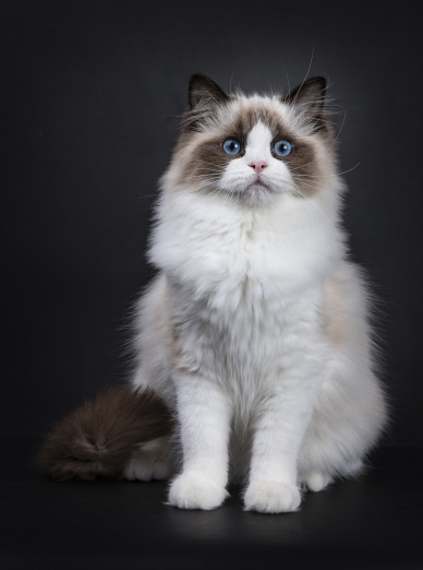 Photo : chat de race Ragdoll sur Woopets