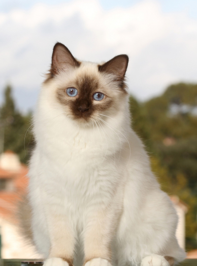 Photo : chat de race Sacré de Birmanie sur Woopets