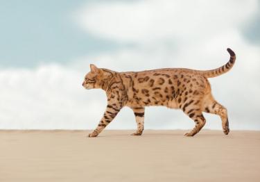 Photo : chat de race Savannah sur Woopets