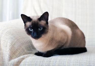 Photo : chat de race Siamois sur Woopets
