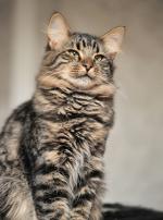 Photo : chat de race Sibérien sur Woopets