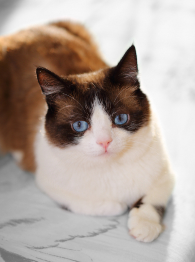 Photo : chat de race Snowshoe sur Woopets