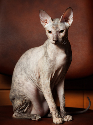 Photo : chat de race Sphynx sur Woopets