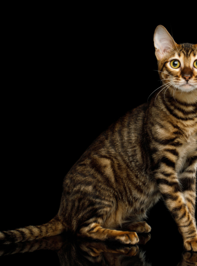 Photo : chat de race Toyger sur Woopets