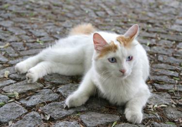 Photo : chat de race Turc de Van sur Woopets