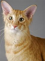 Photo : chat de race Javanais sur Woopets